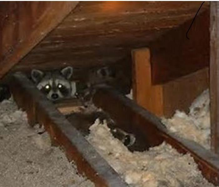 Biohazard Critters in the Attic Can Cause More Trouble Than Just Ripped Insulation.